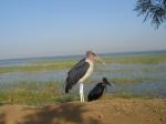 Stork in Awassa