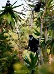 Calabus Monkeys in Chiri